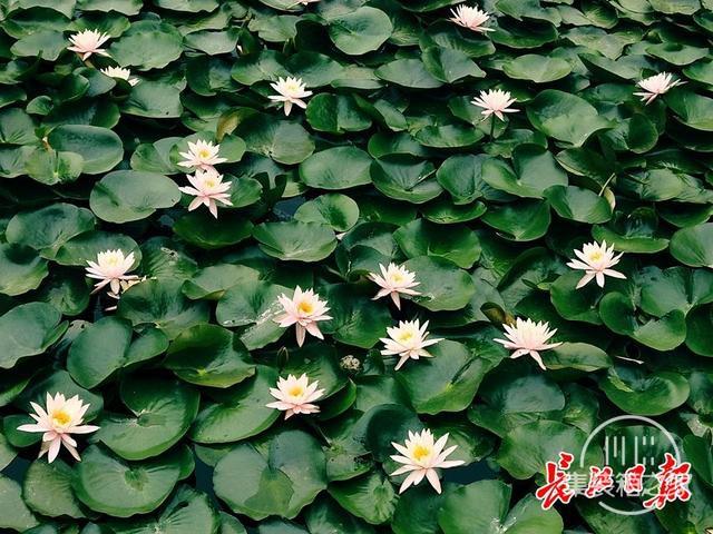 武汉公园荷花美成一幅画-2.jpg