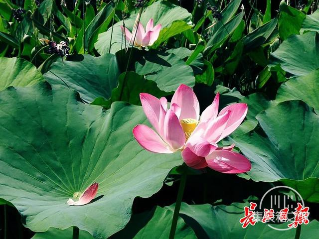 武汉公园荷花美成一幅画-1.jpg
