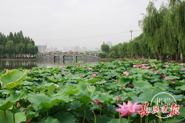 武汉公园荷花美成一幅画-3.jpg