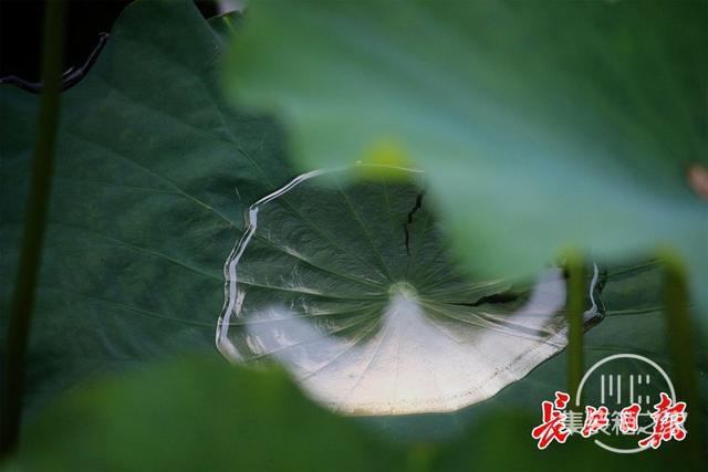 武汉公园荷花美成一幅画-6.jpg