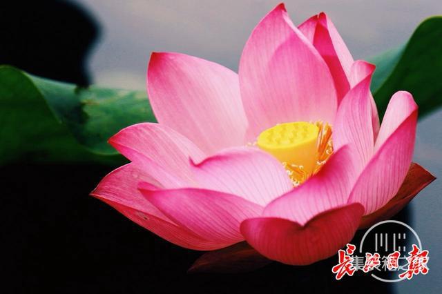 武汉公园荷花美成一幅画-5.jpg