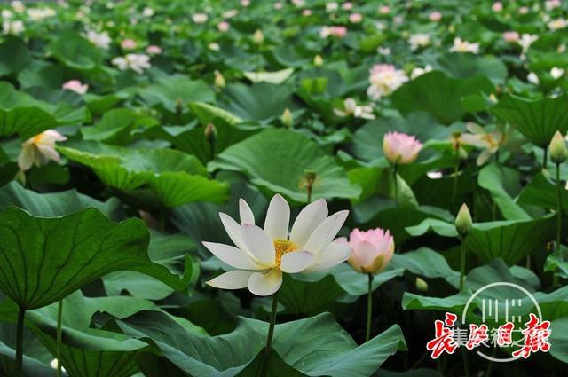 武汉公园荷花美成一幅画-10.jpg
