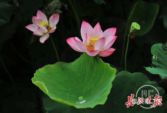 武汉公园荷花美成一幅画-12.jpg