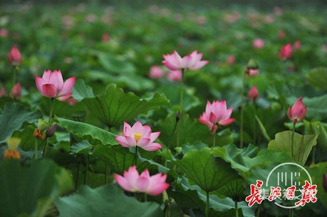 武汉公园荷花美成一幅画-9.jpg
