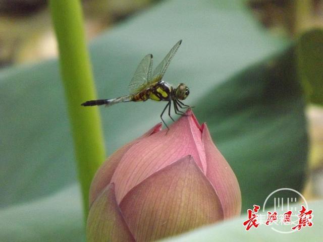 武汉公园荷花美成一幅画-11.jpg