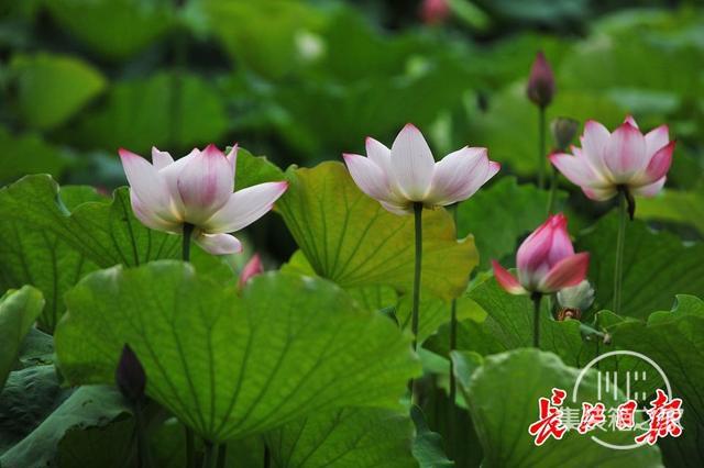 武汉公园荷花美成一幅画-13.jpg